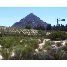 Rooibos vert Bio Afrique du sud