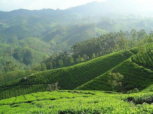 champ de thé bio et culture
