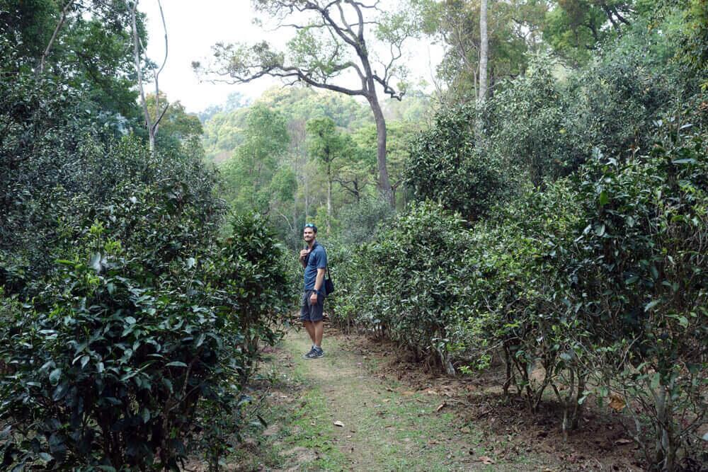 plantation de pu erh au coeur de la forêt