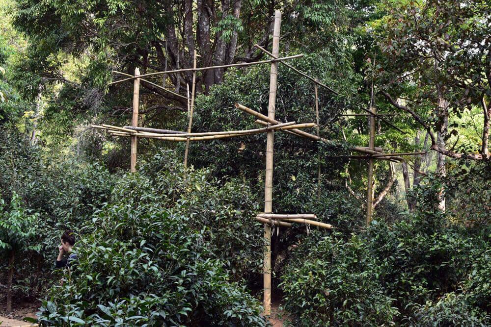 vieux théier avec échafaudage en bambou